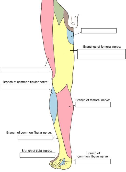"results and stats for ""cutaneous nerves of the lower limb, Muscles"
