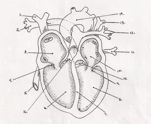 blank heart diagram quiz  blank  free engine image for